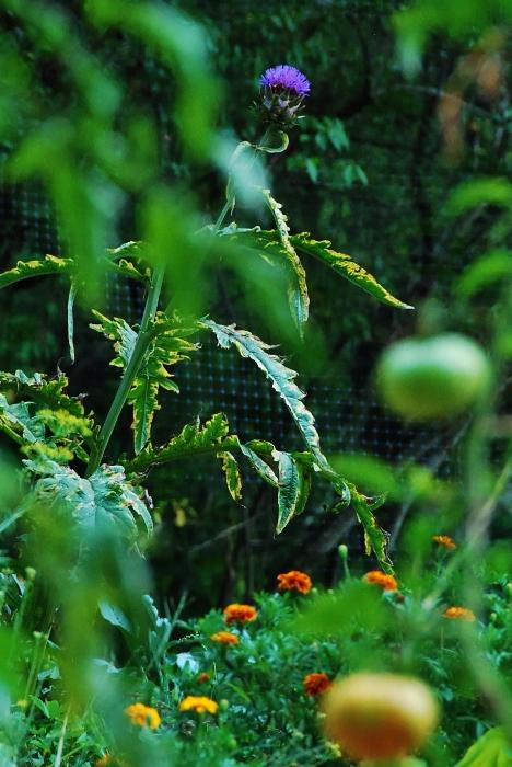 Violet de Provence Artichoke Bloom