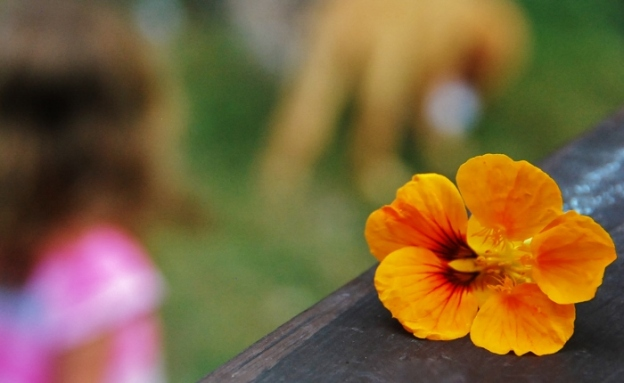 Nasturtiums are like mini-hibiscus!