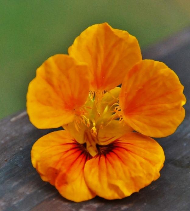 Nasturtium (Jewel Peach Melba)