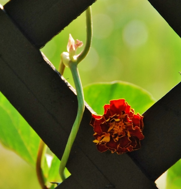 Bean vine and marigold on trellis