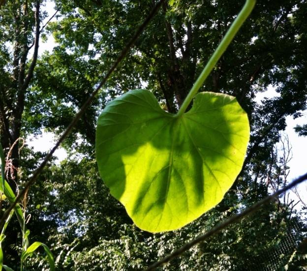 Serpente di Sicila edible gourd leaf (on teepee)