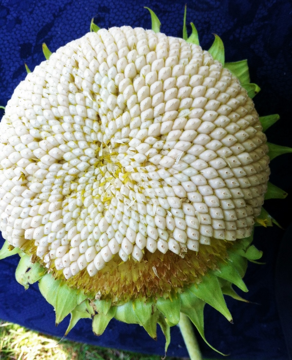 White-Seeded Sunflower