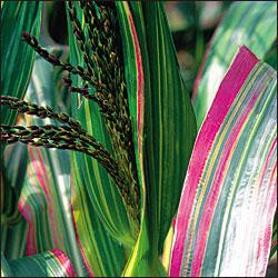 japonica corn