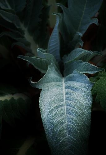 Violet de Provence Artichoke Plant