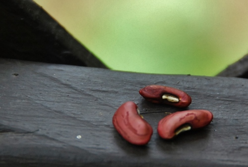 Yardlong bean seeds