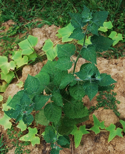 This is the giant cape gooseberry plant. The leaves have tons of tiny holes from flea beetles