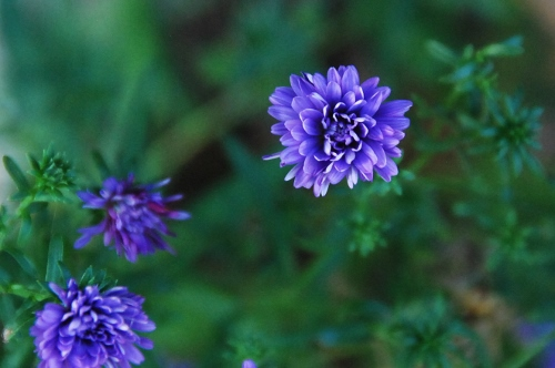 Purple asters blooming