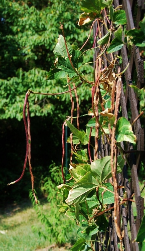 Chinese Red Noodle Beans drying on the vine