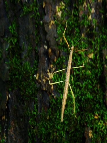 Walking Stick, walking fast!
