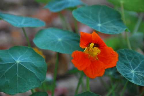 Nasturtium in the shade
