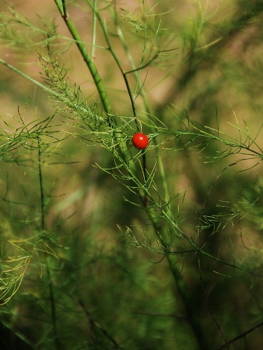 A berry? On the asparagus foliage? Never seen this before!