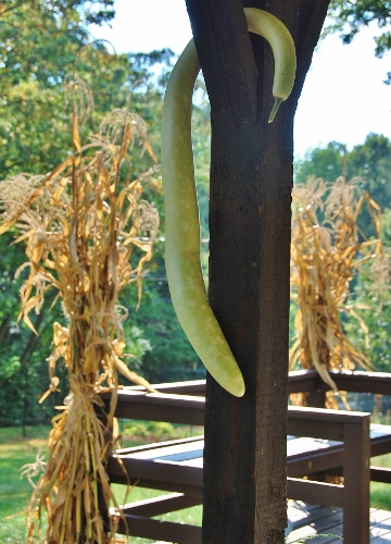 Another view of my cornstalk bunches with Serpente di Sicilia edible gourd
