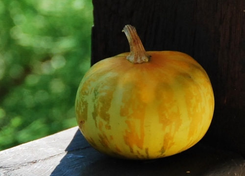 The little, lone Spy Garden pumpkin (so far!)