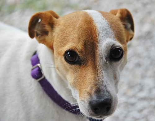 Lilly, one of the Jack Russell's