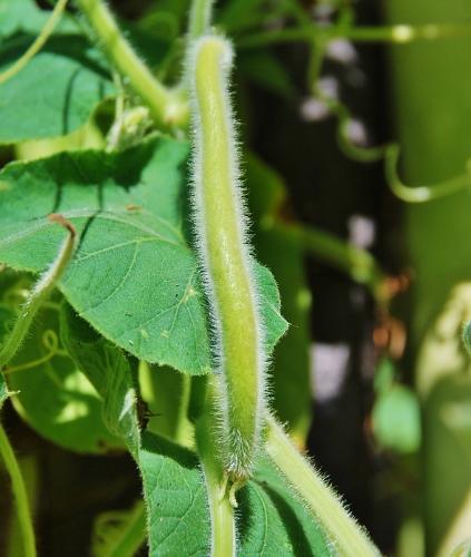 Serpente di Sicilia edible gourd forming
