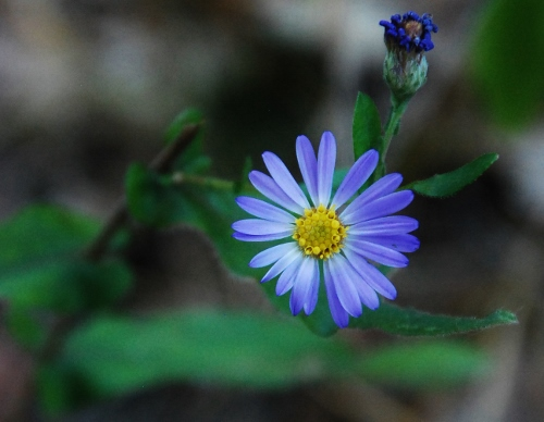 A type of aster?