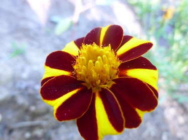 Court Jester Marigolds
