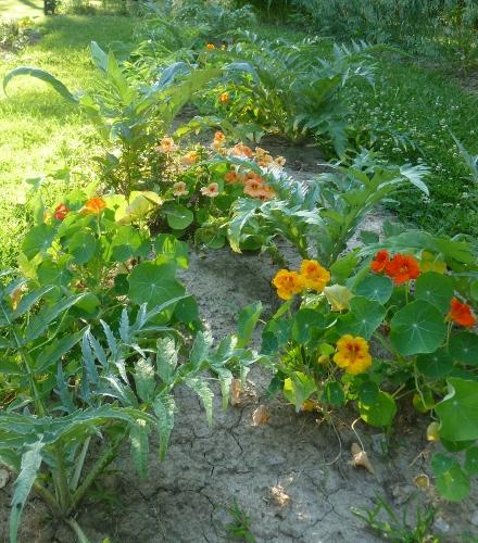 Nasturtiums and Violet de Provence Artichoke Plants