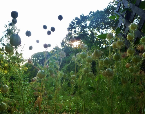 Love-in-a-mist seed pods