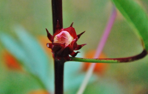 Thai Red Roselle bud