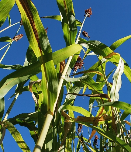 Tall sorghum (and look at that blue sky!)