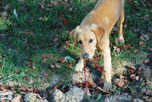 Puppy trying to help with the fall cleanup (she's gnawing on a little amaranth plant). It's ok, she's trying to help.