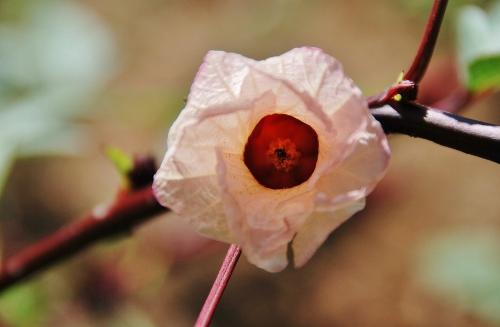 Thai Red Roselle