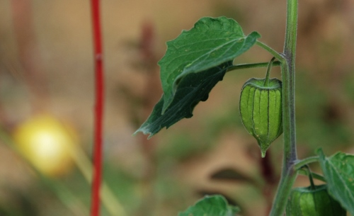 Love the little lanterns of the cape gooseberries