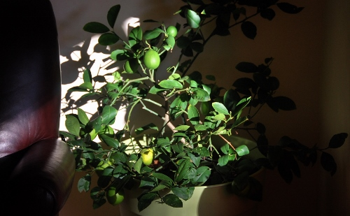 The Meyer lemon tree has moved indoors and the lemons are finally turning yellow!