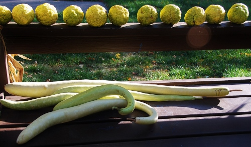 Our very own Serpente di Sicilia edible gourds grown in Spy Garden.