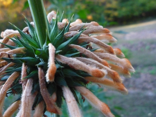 A perfect October plant: Lion's Tail/Wild Dagga (from my fall garden in 2010)