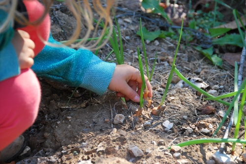 Checking out the little onions.