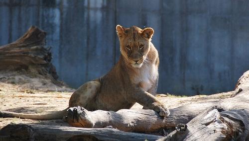 A lionness.