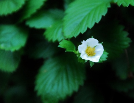 Yellow Wonder Wild Strawberry Bloom