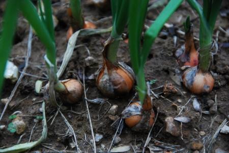 Little Jaune Paille de Vertus onions