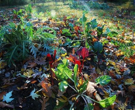 Rainbow Swiss Chard and an artichoke plant
