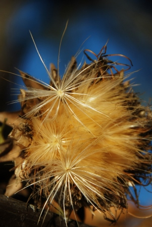 Artichoke head with seeds (a seed is attached to each little fluffy star)