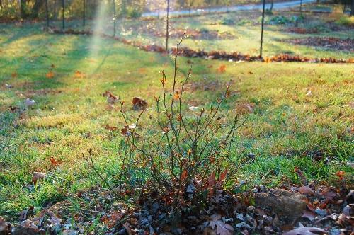 Knockout rose bush, pruned by deer. (Garden in background)