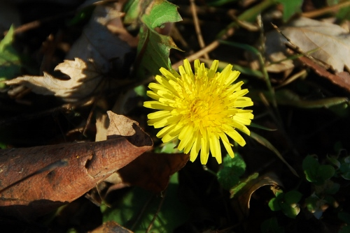 Dandelion (that is now covered in snow!)