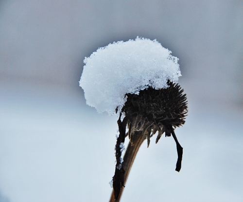 Coneflower Snow Hat