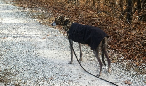 Sheba (my good friend's dog) demonstrating a key rule of fashion: one can never have too much animal print.
