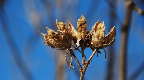 Rose of Charon bush