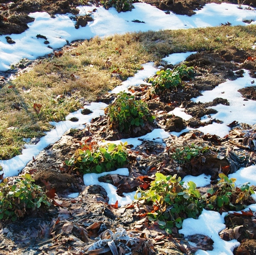 The Yellow Wonder wild strawberry plants looking quite perky and green even after -9!