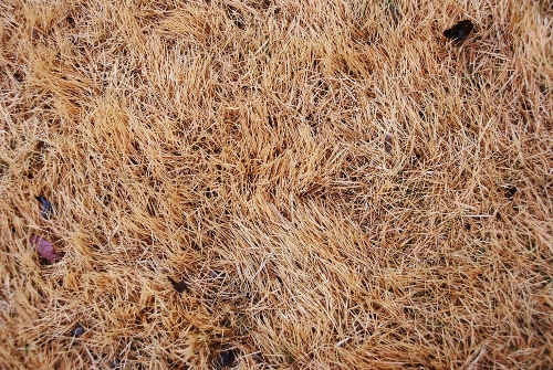 """Dormant Grass Gold"""