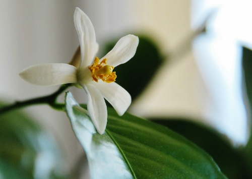 Meyer Lemon bloom with a window view