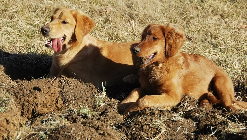 Little Diggers (Maggie was digging with her teeth! See the big clod of dirt in her mouth?!)
