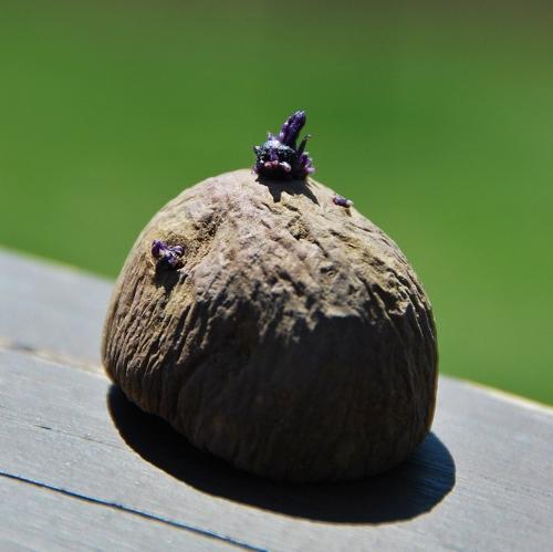 Purple Seed Potato sprouting