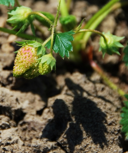 Strawberries beginning to blush! (Quinault Strawberries)