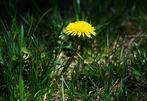 Lots of dandelions in the yard