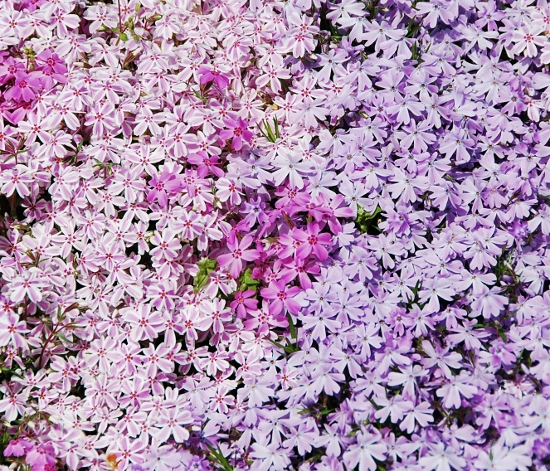 Phlox Moss (say that three times fast)